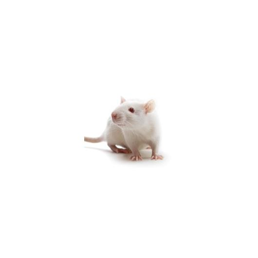 Wistar_Rat