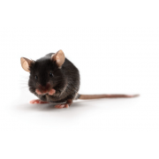 ApoE miševi (JAX™); B6.129P2-Apoetm1Unc/J