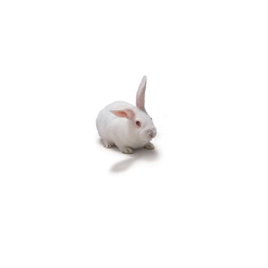 NZW_Rabbit_417x235