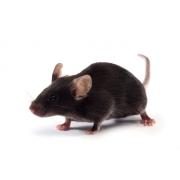 K18-hACE2 miš (JAX™)